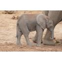 Foto auf Plexiglas - Elefantenbaby