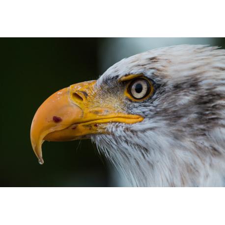 Foto auf Plexiglas - Seeadler