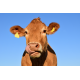 Foto auf Plexiglas - Kuh