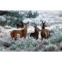 Foto auf Plexiglas - Hirsche