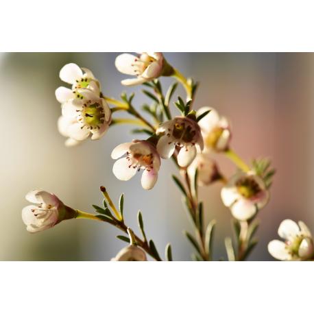 Foto auf Plexiglas -  Weiße Blüte