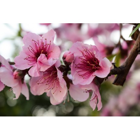 Foto auf Plexiglas -  Rosa Blumen
