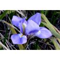 Foto auf Plexiglas - Iris