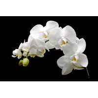 Foto auf Plexiglas - Orchidee