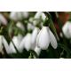 Foto auf Plexiglas - Sneeuwklokje