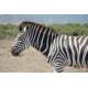 Foto auf Plexiglas - Zebra
