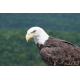 Foto auf Plexiglas - Adler