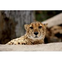 Foto auf Plexiglas - Cheeta