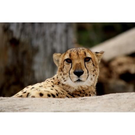 Foto auf Plexiglas - Cheetah