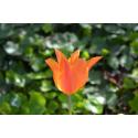 Foto auf Plexiglas - Tulpe