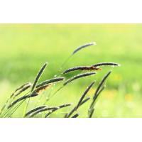 Foto auf Plexiglas - Fuchsschwanzgräser