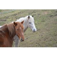 Foto auf Plexiglas - Pferde