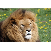 Foto auf Plexiglas - Löwe