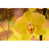 Foto auf Plexiglas - Gelbe Orchidee