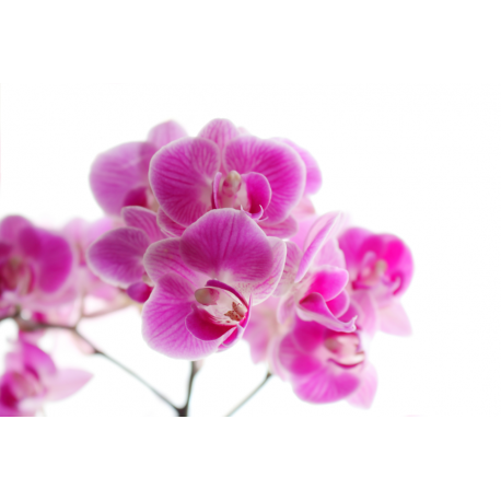 Foto auf Plexiglas - Lila Orchidee