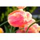 Foto auf Plexiglas - Tulpen