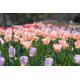 Foto auf Plexiglas - Tulpen Feld