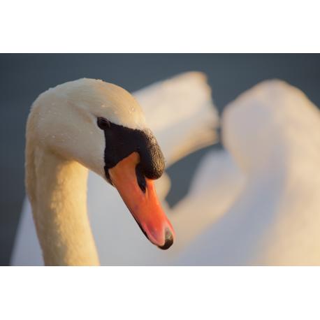Foto auf Plexiglas - Swan