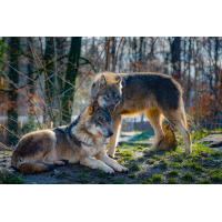 Foto auf Plexiglas - Wölfe