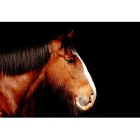 Foto auf Plexiglas - Shire Horse