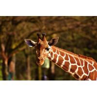 Foto auf Plexiglas - Giraffe